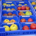 Apfelvielfalt zum Anfassen